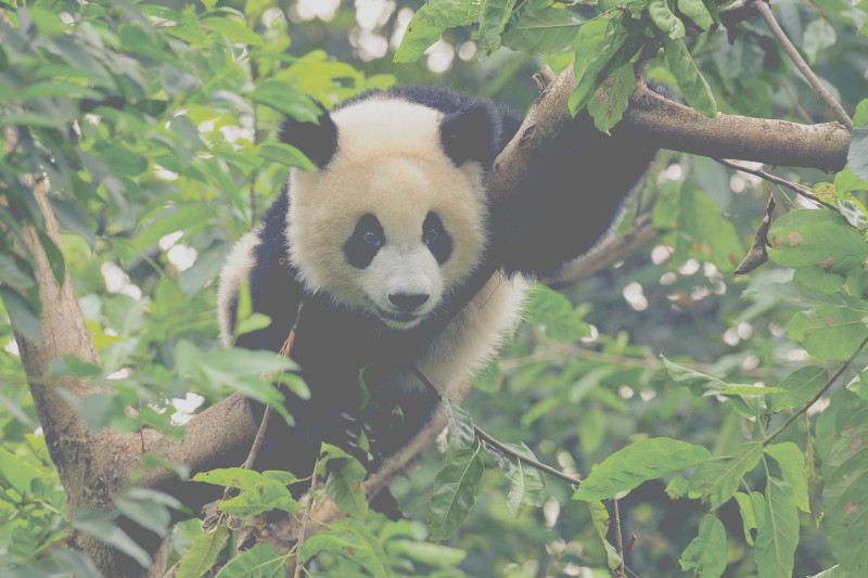 grand-panda-hung-chung-chih-_-shutterstock-com