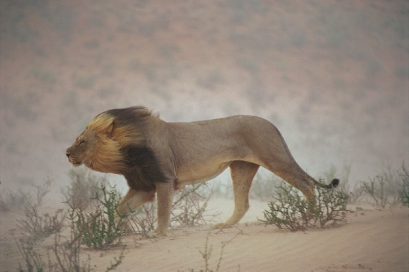 A lion pushes on through a gritty wind in the Nossob Riverbed.