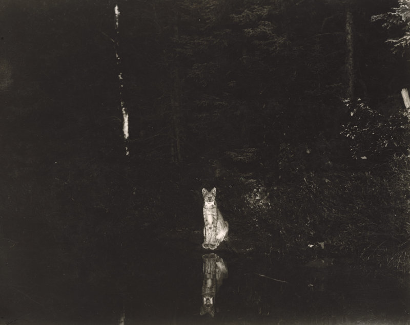 A lynx photographed at night by wildlife photographer George Shiras.