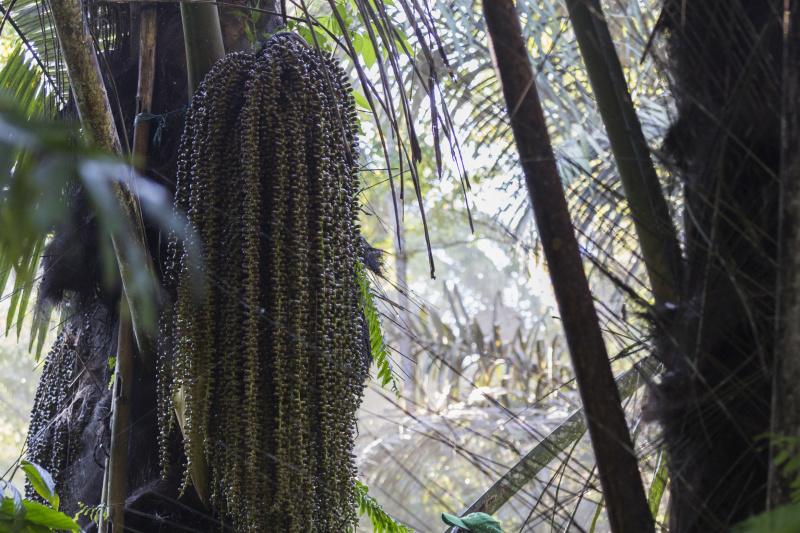 Un palmier aren peut donner quotidiennement jusqu'a 50 litres de seve sucree. De quoi produire sept kilos de sucre en poudre.