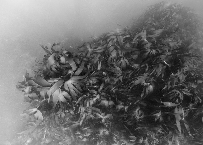 Nicolas Floc'h, Paysages productifs, macro-algues, - 8 m, Ouessant, 2016