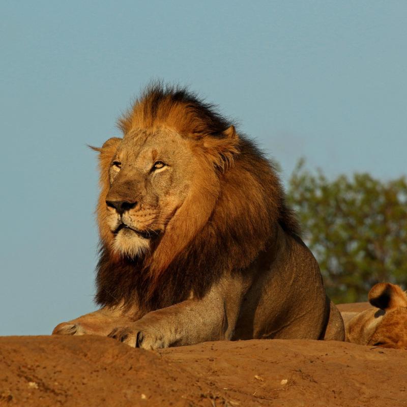 Charles Sharp Lion