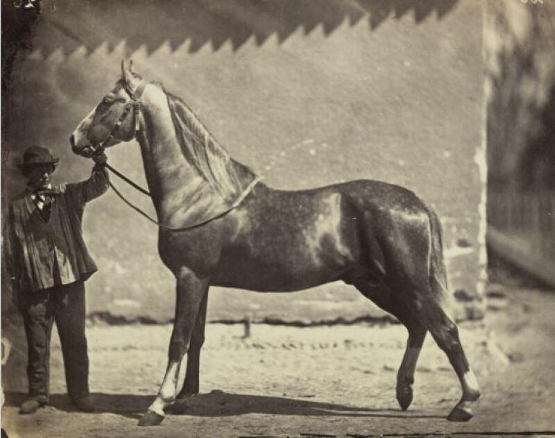 Adolphe Braun, Cheval, 1860