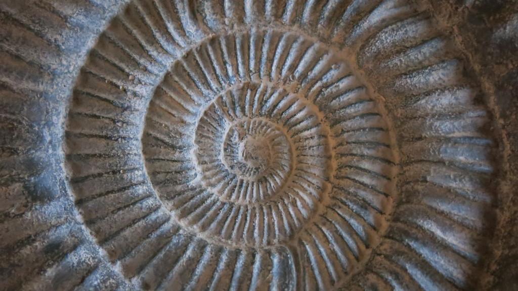 Ammonite perisphinctes cyrilli