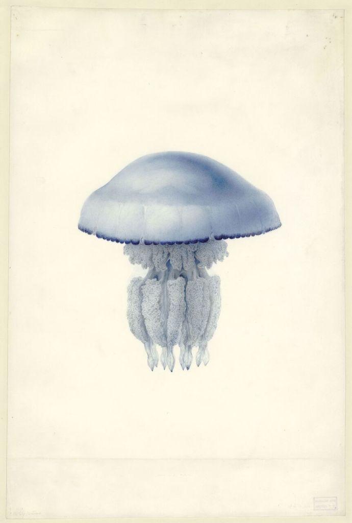 Charles-Alexandre LESUEUR, Méduse Rhizostoma octopus (Linné, 1788) (Scyphoméduse)Non datée – probablement entre 1804 et 1815 © Le Havre, Muséum d'histoire naturelle