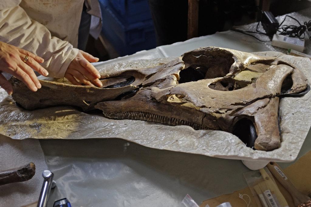 Hadrosaure Edmontosaurus annectens