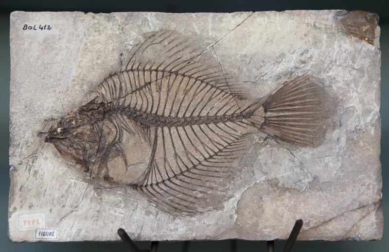 Poisson fossile de Monte Bolca