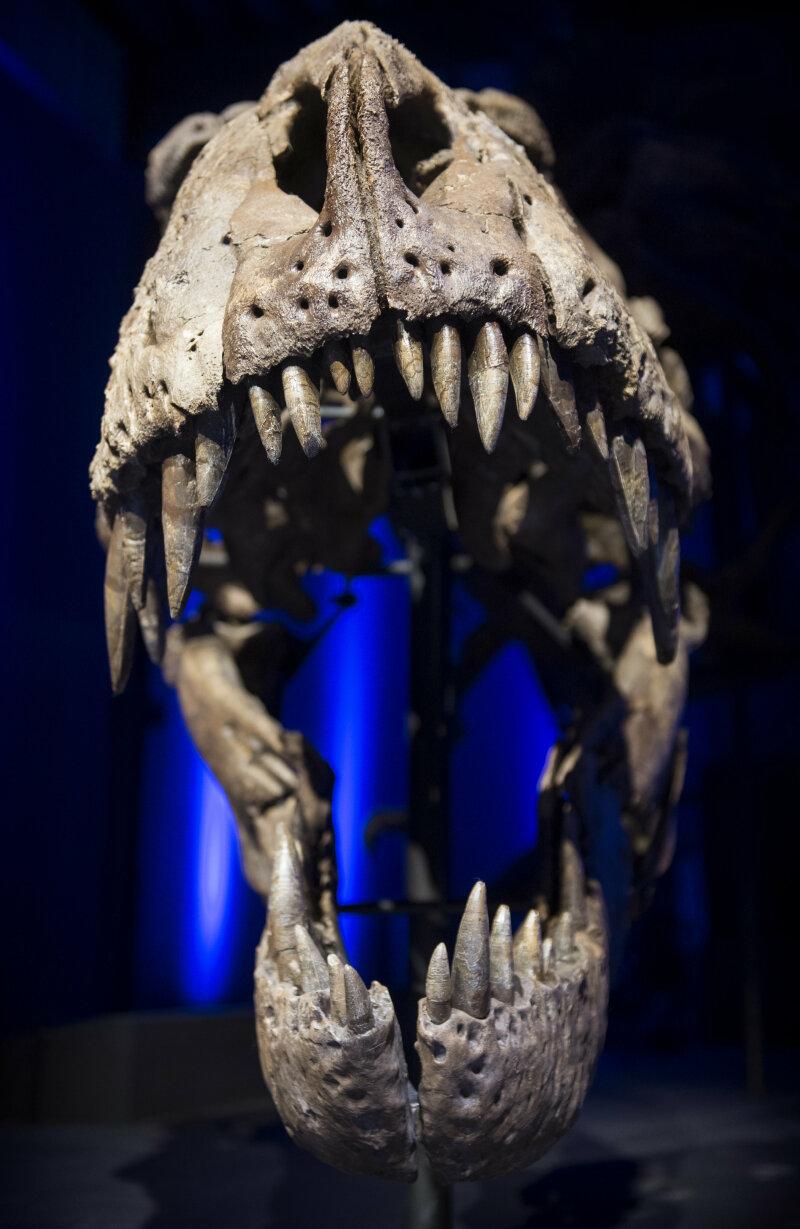 LEIDEN - De opening van T. rex in Town in Naturalis in Leiden - de eerst keer dat het skelet van Tyrannosaurus rex Trix te zien is. FOTO MARTEN VAN DIJL / NATURALIS