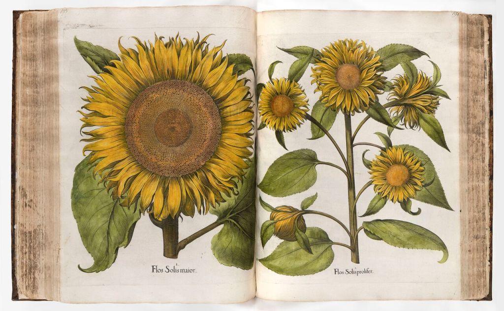 Basil Besler, Hortus Eystettensis [Le jardin d'Eichstätt], Altdorf 1613, exemplaire aquarellé, collection privée