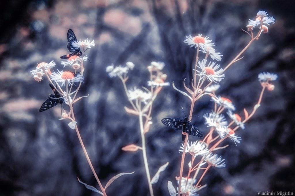 Papillons et fleurs dans la forêt, Chernobyl Exclusion Zone