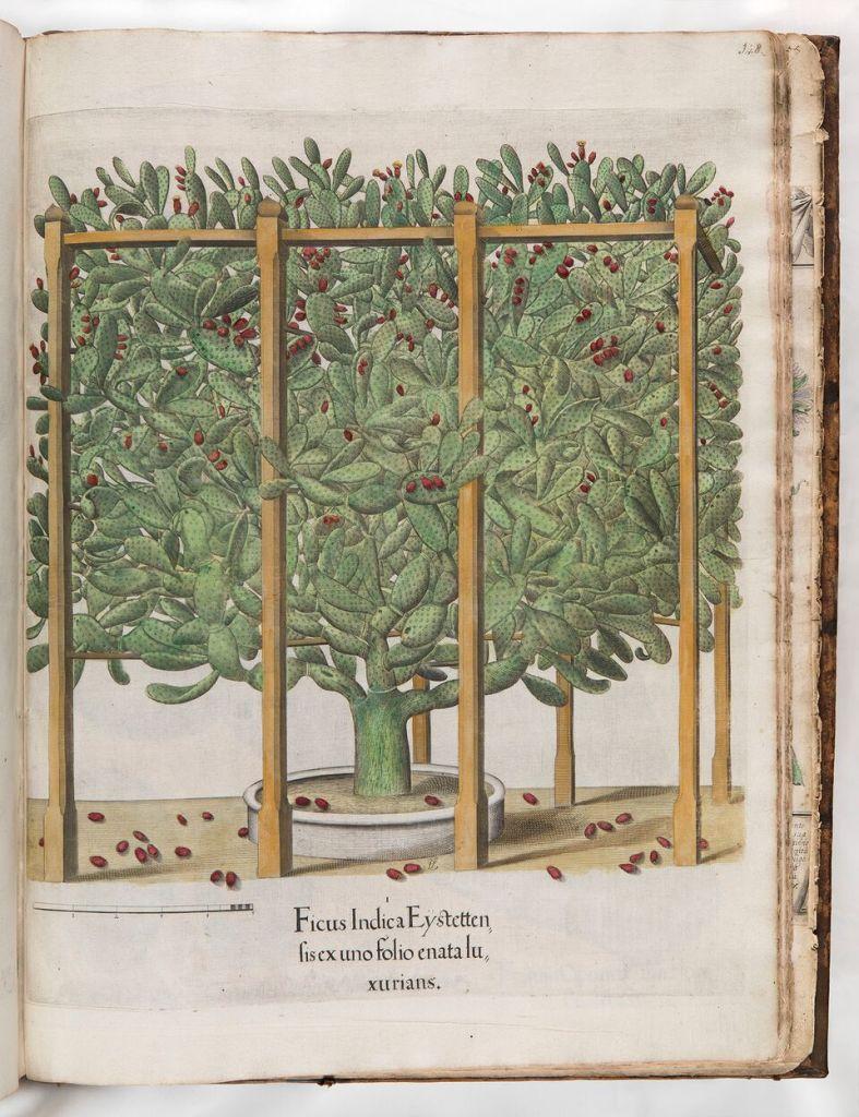 Otto Brunfels (1488-1534)Herbarum vivae eicones ad naturae imitationem, summa cum diligentia et artificio effigiatae, una cum effectibus earundem, in gratiam veteris illiu