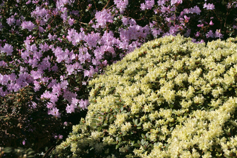 Rhododendron 1-avril 2015©CDP 29