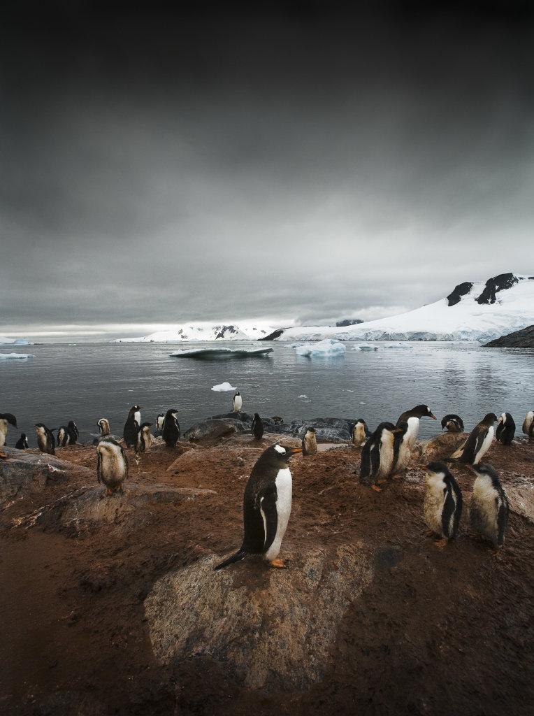 Colonie de Manchots Papous, Île Petermann, Antarctique