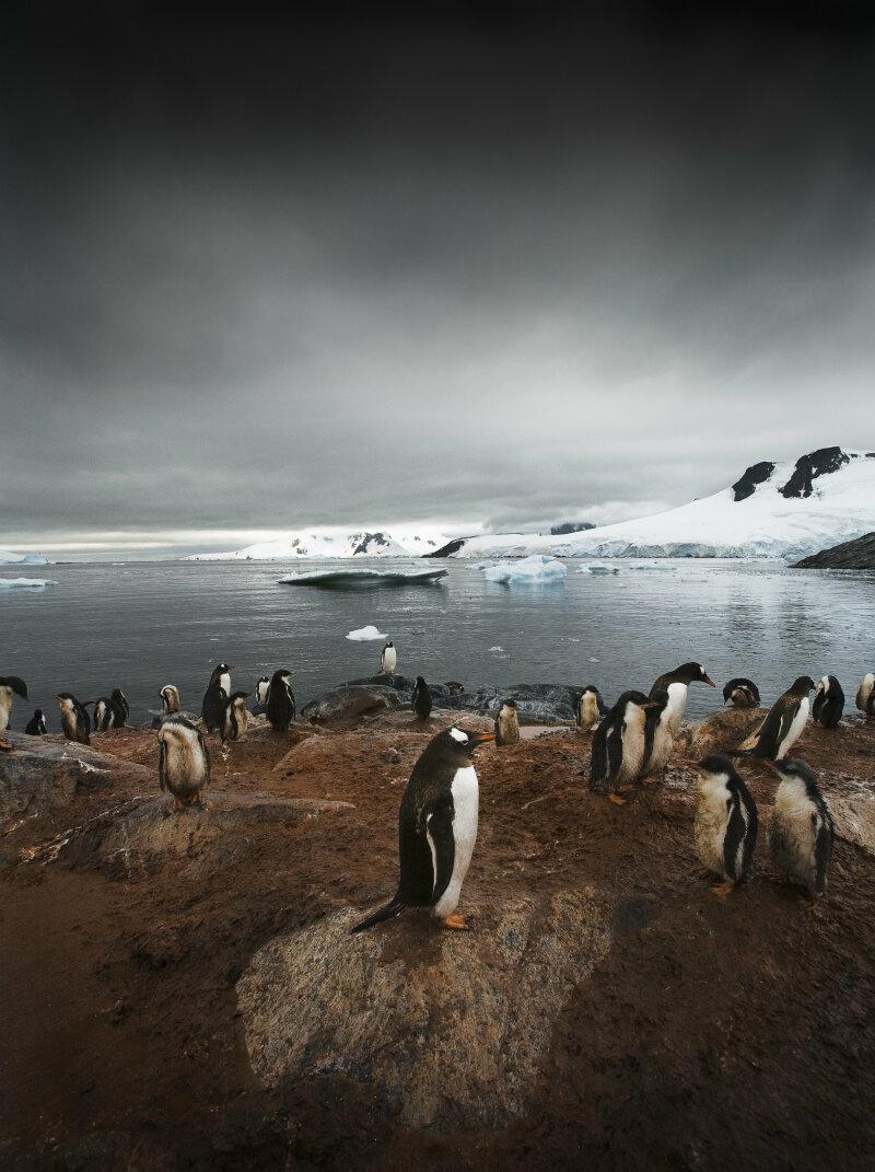 Pôle Nord et Pôle Sud abritent chacun une faune différente: le manchot vit au le Pôle Sud  ; l'ours polaire au Nord. Aucun n'a jamais traversé l'équateur (excepté les pingouins des Galápagos). Les deux sont menacés par le réchauffement climatique et les activités humaines. ©Sebastian Copeland