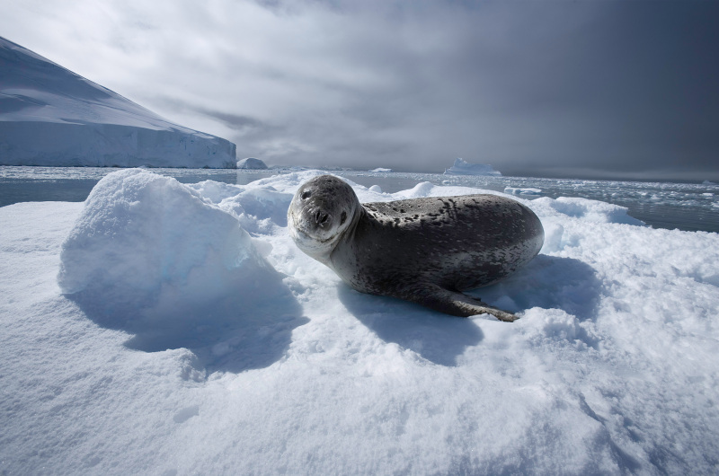 Faune et flore prospèrent loin de la présence humaine dans les zones côtières de l'Antarctique. En l'absence de populations indigènes, le Traité de Madrid, signé par 45 nations, a déclaré l'Antarctique «  réserve naturelle consacrée à la paix et à la science.  » Il a aussi édicté une charte du tourisme limitant l'introduction d'organismes étrangers sur le continent. Pourtant l'influence humaine n'est pas aux changements climatiques et océaniques. ©Sebastian Copeland