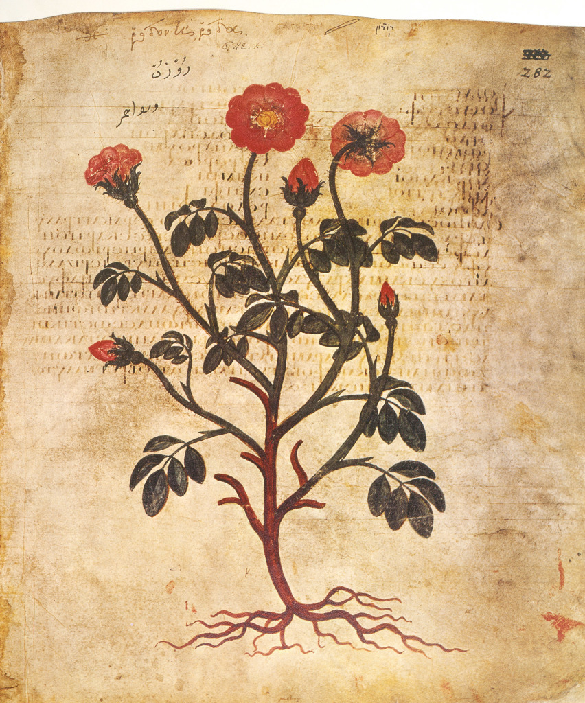 Illustration de rose du manuscrit de Dioscoride