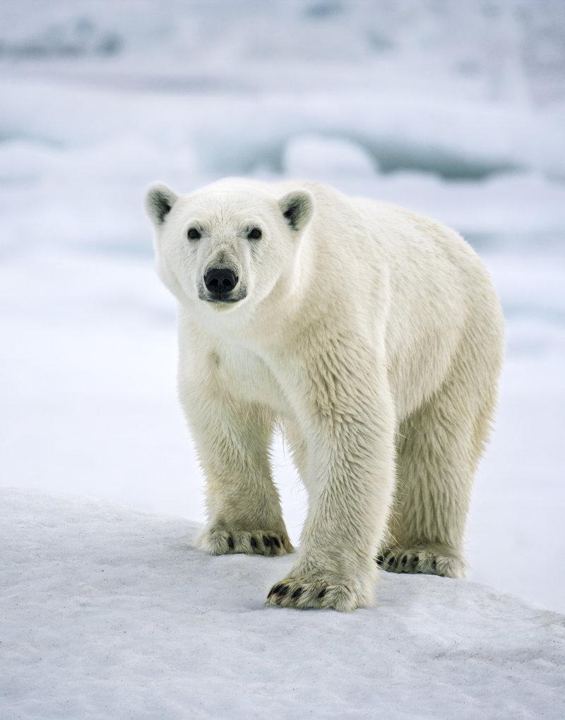 Témoin du changement climatique, l'ours polaire est sans conteste le plus puissant prédateur de l'Arctique. D'un poids pouvant excéder 700 kgs, c'est le plus grand carnivore terrestre. La réduction de la glace marine menace ses capacités de chasseur, et donc sa survie. ©Sebastian Copeland
