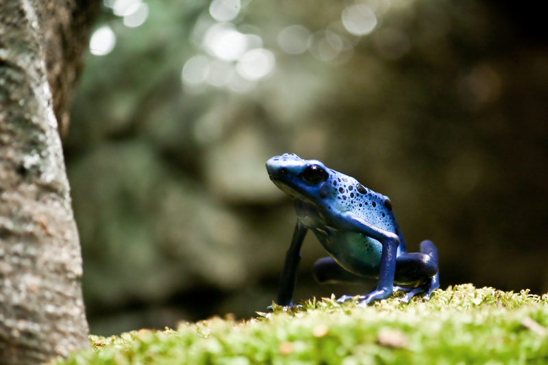 Blue Poison Dart Frog (Dendrobates azureus) - Each frog has a unique pattern of black dots, which serves as an identification tool. This species of frog is also known for its hunch-backed posture.