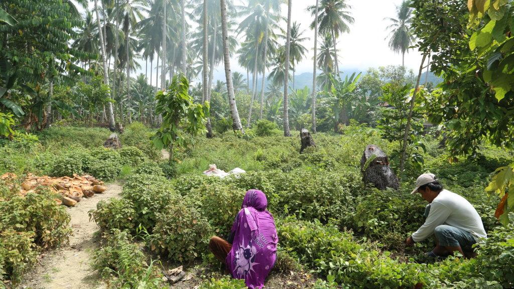 Plantation indonésienne de Patchouli