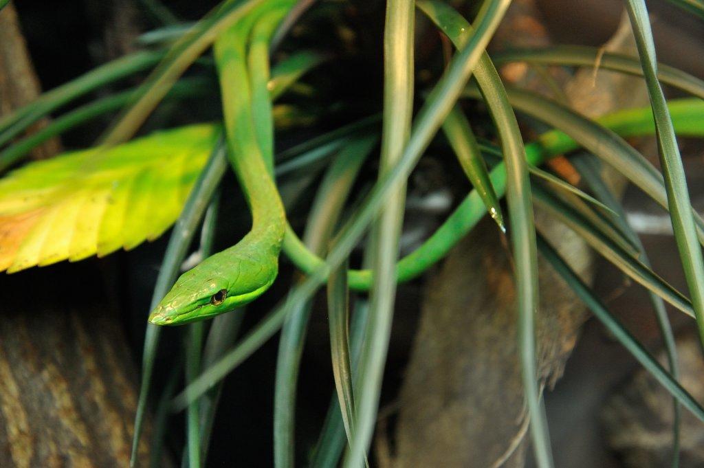 Serpent liane (c) F-G Grandin MNHN
